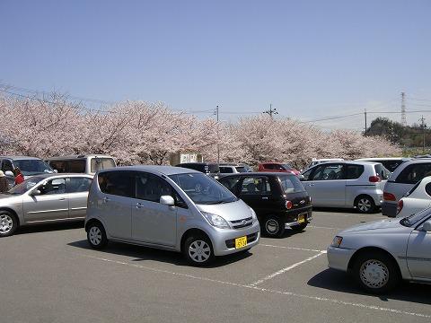 お店の北側の桜