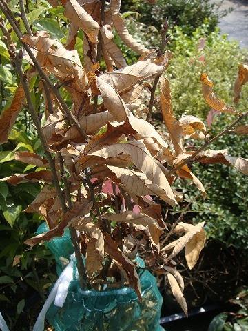 いまだに枯れ葉をつけている。