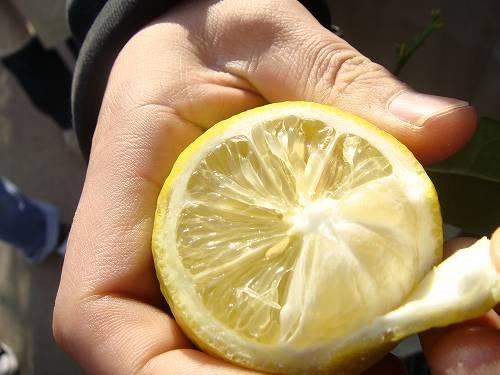 採れたてレモンの断面図