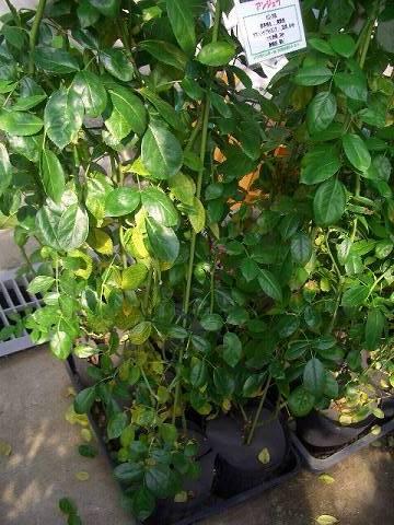 下葉や樹幹内部の日当たりの悪い場所の葉は落葉しやすい