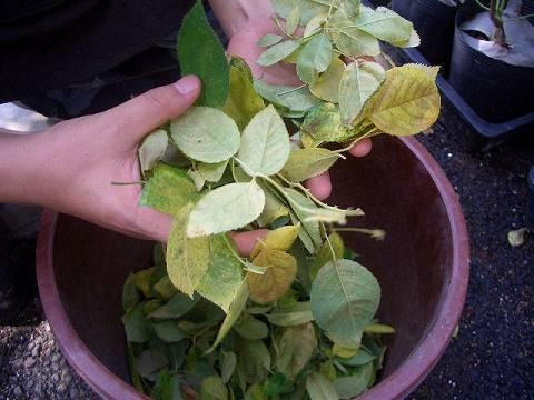 病気ではないのですが葉はこんなに落ちます。