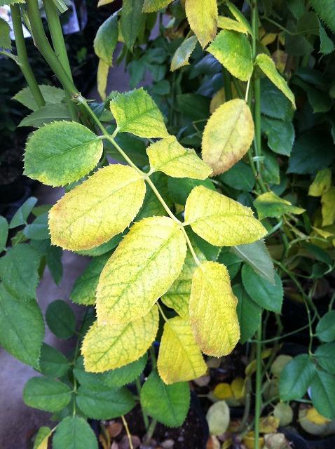 下葉から黄色く変色します。