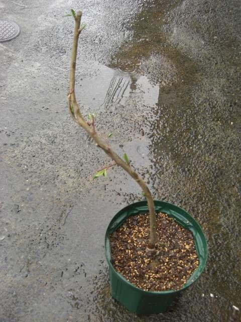 照手水蜜の植え直し前