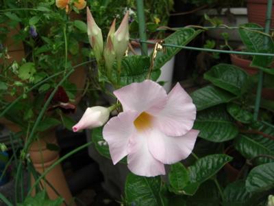 マンデビラ(デプラデニア)「ホワイトローズジャイアント」の花