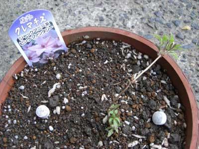 クレマチス ピンクファンタジーの苗の植付後