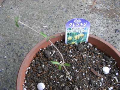 クレマチス ビルマケンジーの苗の植付後