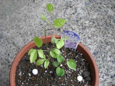 クレマチス ベルオブウォーキングの苗の植付後