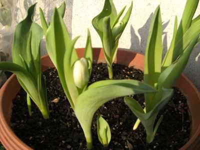 冬咲きチューリップ01