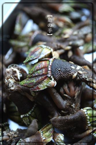 亀の手縦.jpg