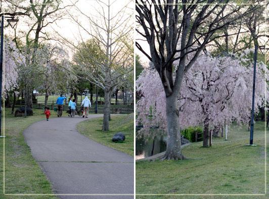 行きの明るさ&桜.jpg