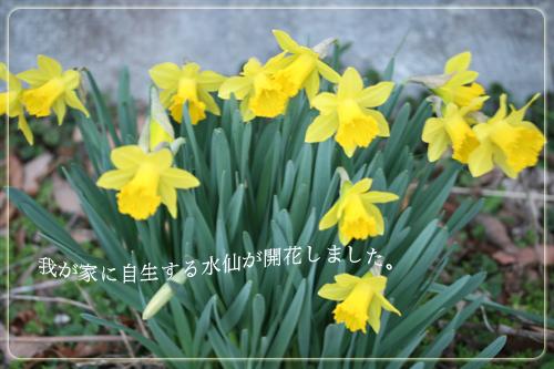 水仙開花.jpg