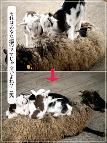 2匹のやぎ、羊上.jpg