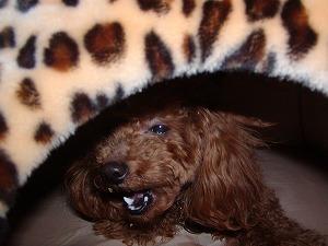 態度デカイ のさばる愛犬