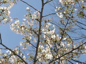 渋谷道玄坂の桜