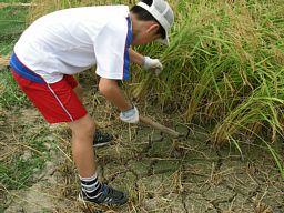 稲刈り(1)