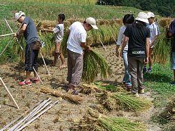 稲刈り(2)