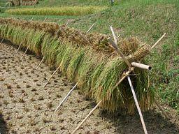 稲刈り(3)