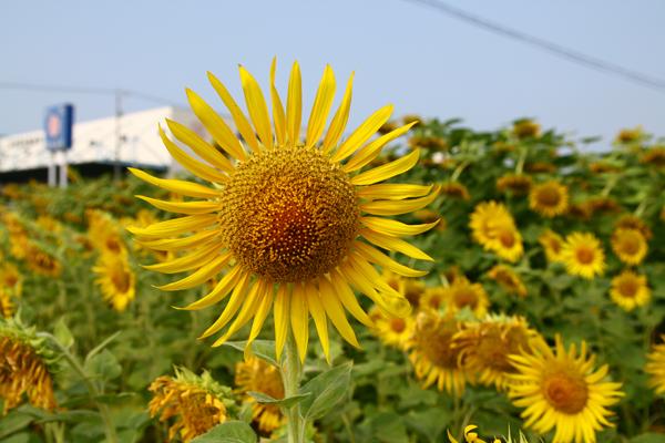 2008.08.10 himawari.jpg