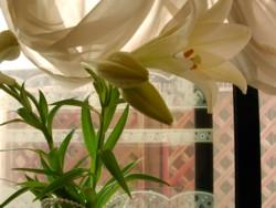 sany0011花瓶のゆり.jpg