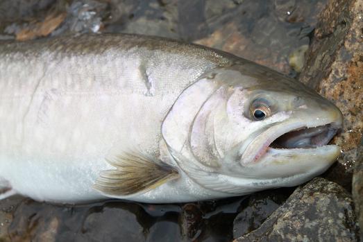 天然岩魚 雌 46Cm