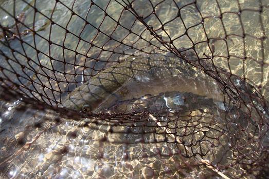 宮川 天然岩魚 雌 49Cm