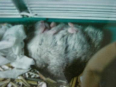 野良寝のハゲピー
