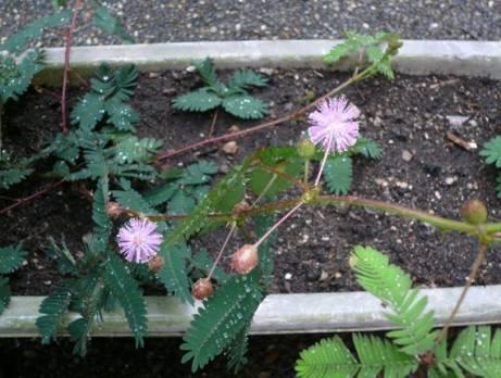 オジギソウの花_2007