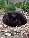 黒猫のヤマト!
