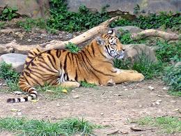 ベンガル虎