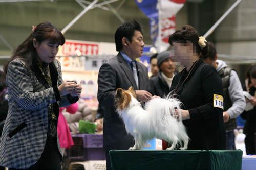パピヨン審査風景