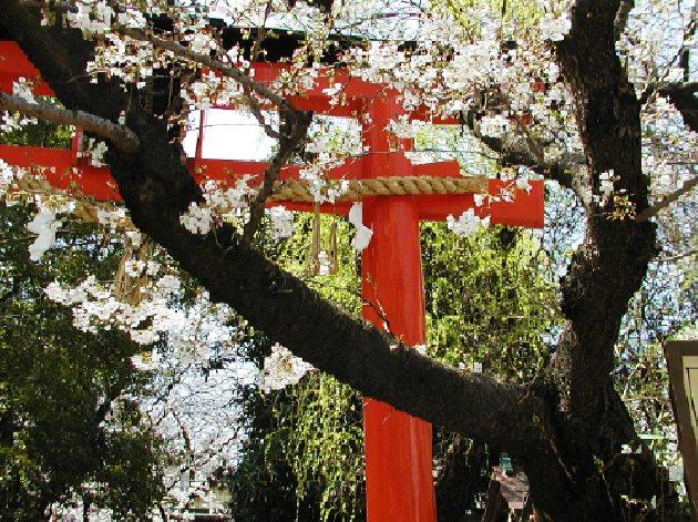 鳥居と桜630t471.jpg