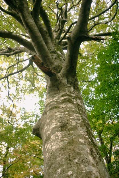 ぶなの大木