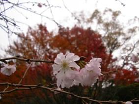 不断桜と紅葉