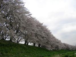 堤防上の桜