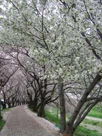 1本だけある山桜