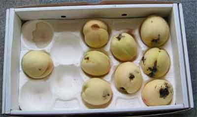 桃狩り 2008 in 自宅(虫食い、傷物)
