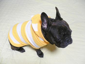 フレンチブルドッグのロンちゃんセーターをご着用