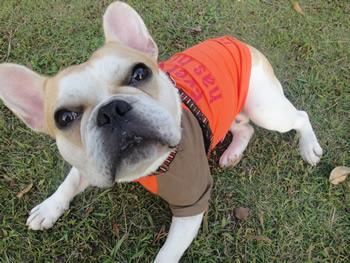 フレンチブルドッグのjoy君お客様の愛犬写真