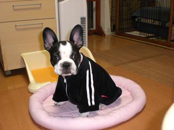 フレンチブルドッグのクゥちゃんお客様の愛犬写真