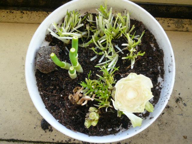 20110323再生野菜3