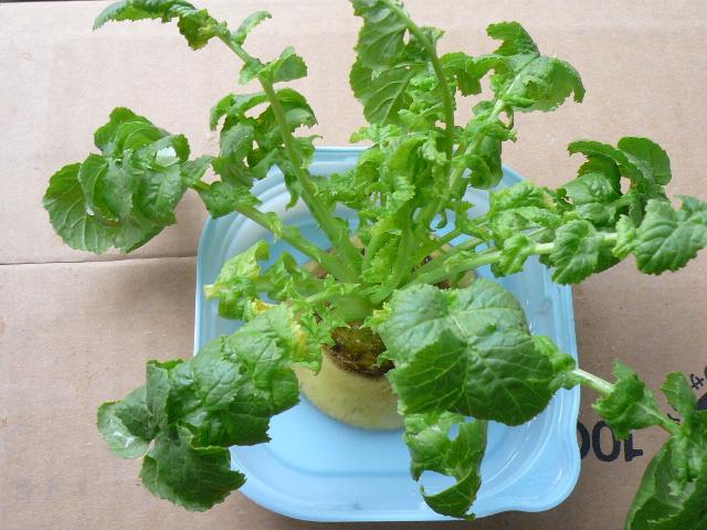 20110426再生野菜2
