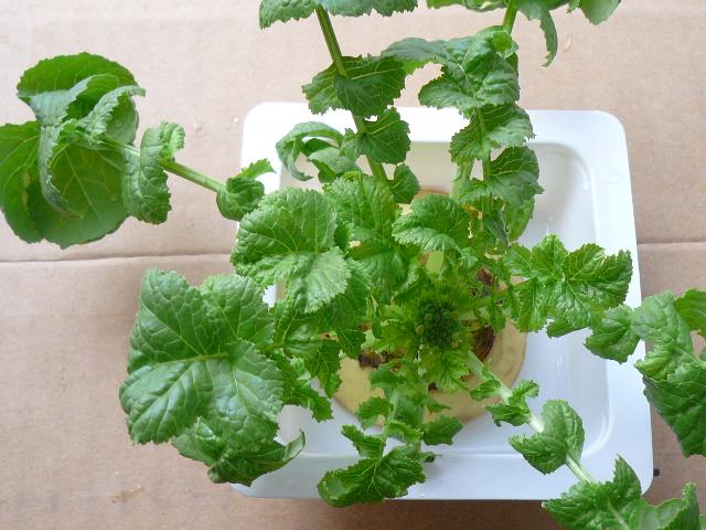 20110426再生野菜
