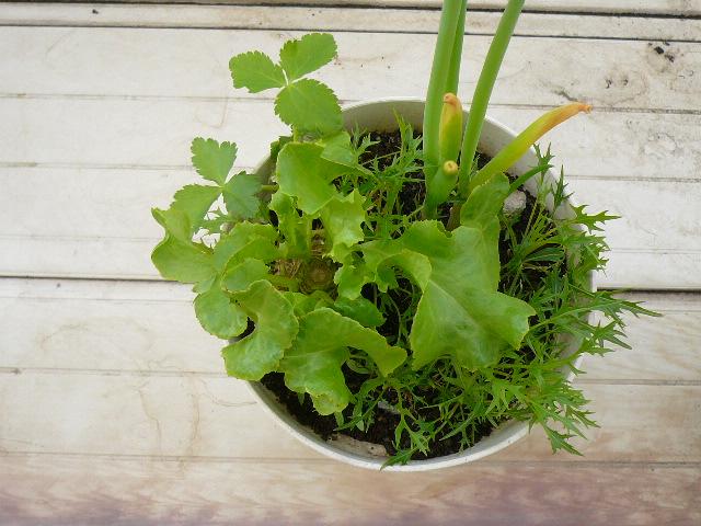 20110426再生野菜4