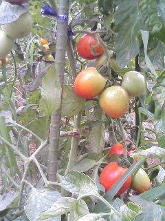 20070818無農薬トマト