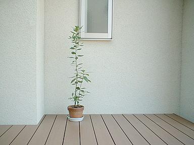 パティオと月桂樹