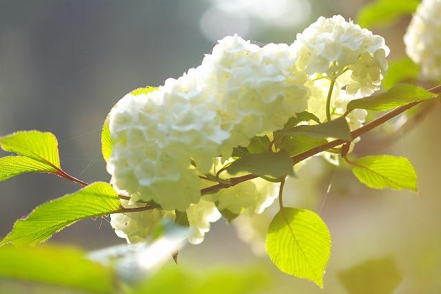 5.16:白い花R2.jpg