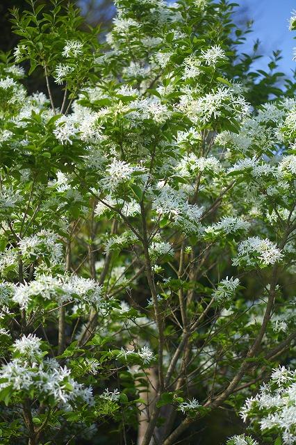 5.16:白い花R3.jpg