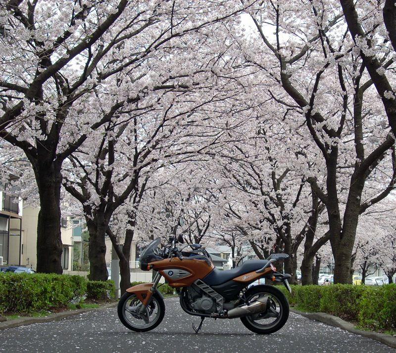 國學院大学付近の桜