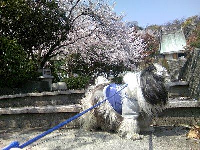 桜とジャッキー