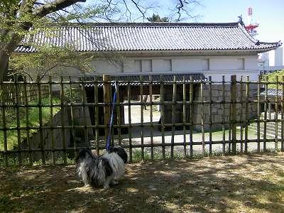 丸亀城大手門枡形で佇むジャッキー 1